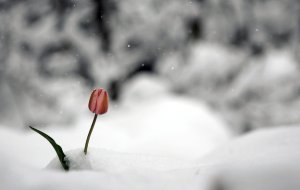 A tulip in the snow.  Like the doctrines of grace in our cold, dead world.  Courtesy: http://www.midnightomenproductions.com/apps/blog/show/10962401-for-writers